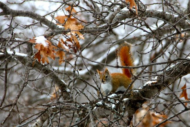 red squirrel on its way to the feeders
