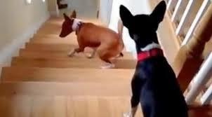 cães subindo escadas para segundo andar