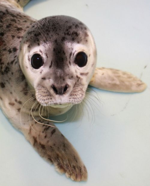 Cute!: Gouda the Harbor Seal pup!