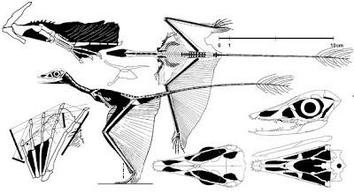 anatomia de Sharovipteryx