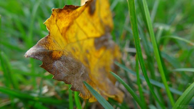 Macro fotografia di foglia gialla