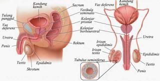 Bagian Organ Alat Reproduksi Pria & Fungsinya