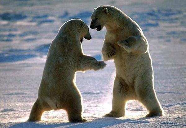 Стойки белых медведей перед схваткой