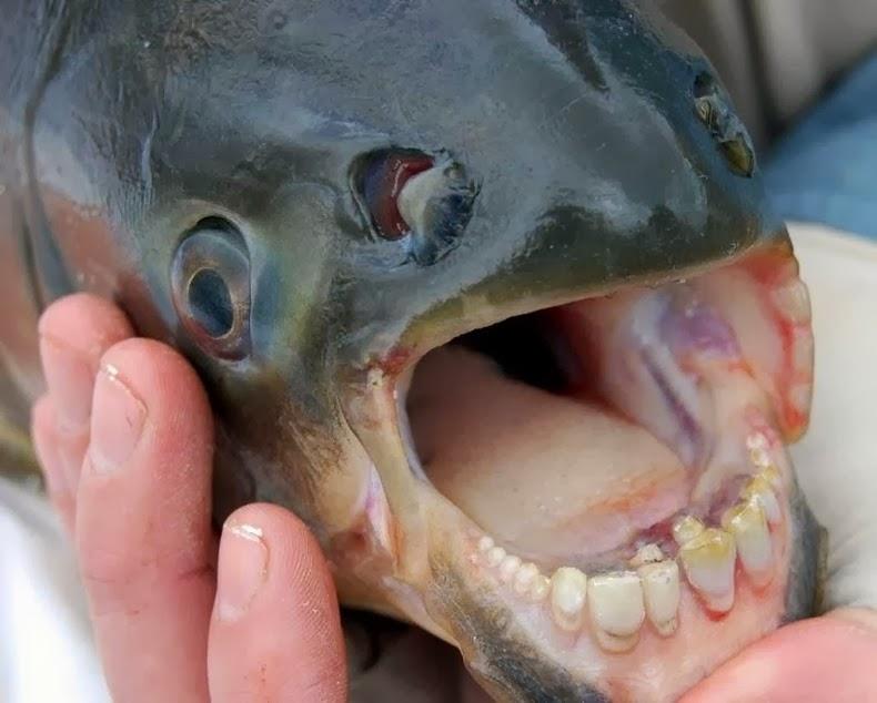 Pacu, el pez con los dientes muy humanos