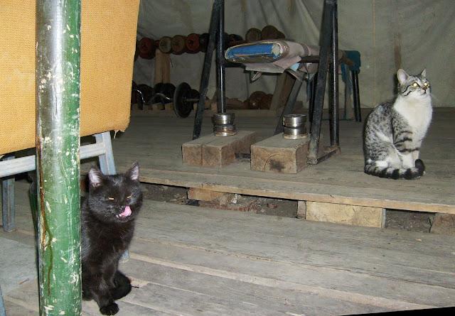 Походный спортзал качалка в армейской палатке. Коты тоже качаются