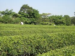 茶sasa茶が訪ねた茶畑