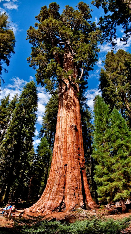 General Sherman Tree – The Worlds Largest Tree – Tourism Attraction