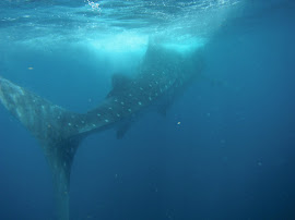 Whale Sharks Are