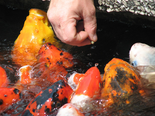 Feeding Koi Fish Carp