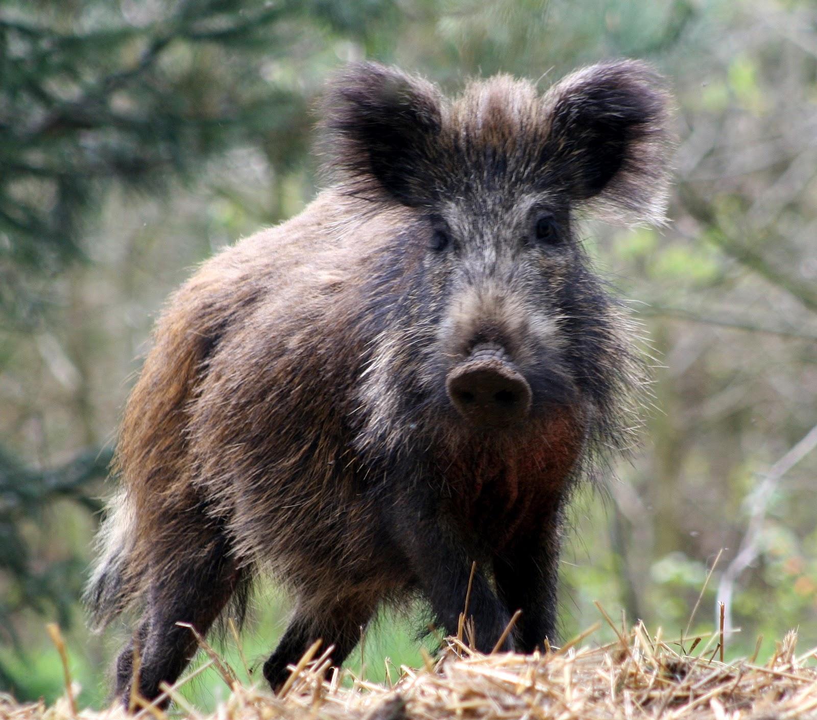 R Hogs Wild Boar | Ani...
