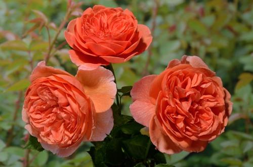 Summer Song rose сорт розы фото кусты купить