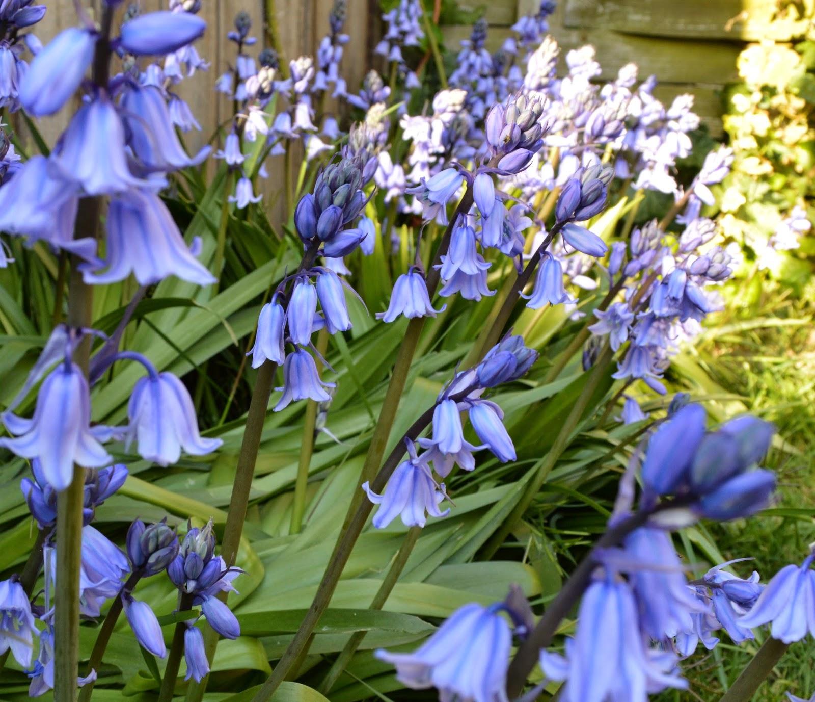 Bluebell, flowers, garden, bloom, blue, lots of, multiple, English, Springtime, Spring, sunshine, photograph, photo