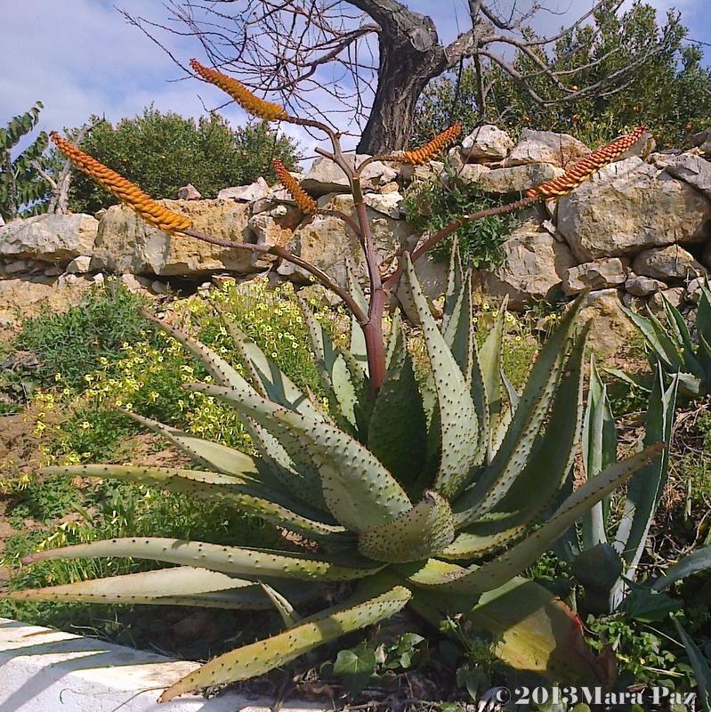 Aloe in flower