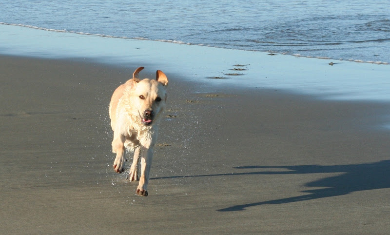 cabana running full tilt toward camera, ears flying back, and she is off the ground in mid air, there are paw prints in the sand behind her