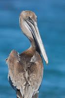 Brown Pelican at Albemarle, Isabela Island, Galapagos