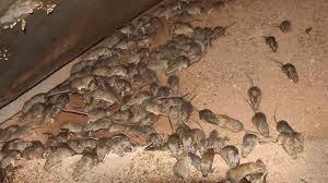 Muizen buiten bestrijden