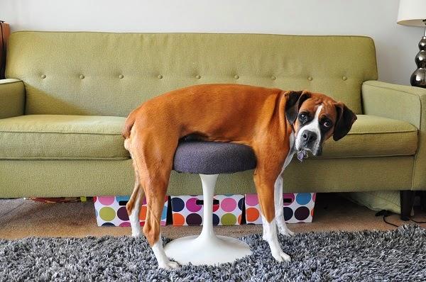perro probando el nuevo mobiliario