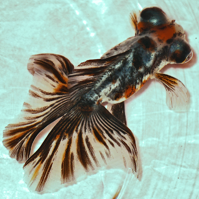 Calico Butterfly Tail Goldfish Pictures