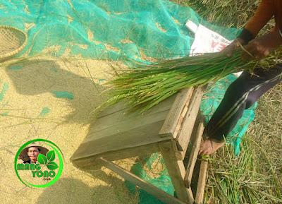 FOTO : Ngagebot, memukul tanaman berulang kali sampai bulir padi terpisah dari tangkainya