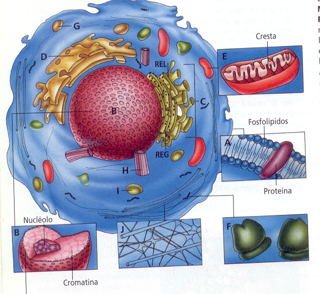 Resultado de imagen de El protoplasma y la célula