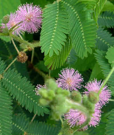 wiccan moonsong mimosa pudica the sensitive plant. Black Bedroom Furniture Sets. Home Design Ideas