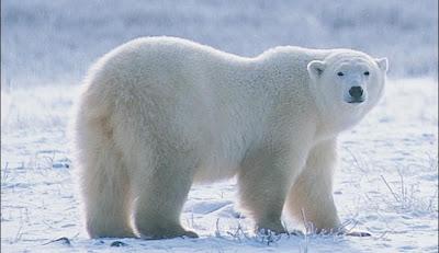 polar-bear-picture.jpg