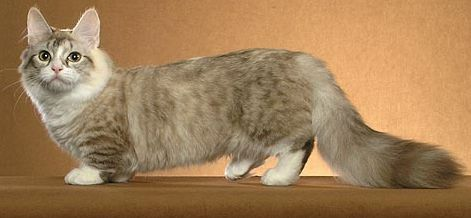 Which Cat Breed Has A Long Body But Shorter Legs