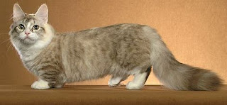 munchkin cat breed pets kitten information animal domestic picture