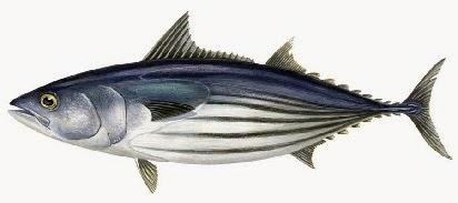 rahasia umpan, umpan mancing ikan nila,umpan mancing ikan nila merah,umpan mancing ikan nila kolam,umpan mancing ikan patin,umpan mancing ikan patin galatama,umpan Mancing Ikan Deho,ikan Tongkol kecil
