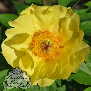 Intersectional Peony 'Sequestered Sunshine'