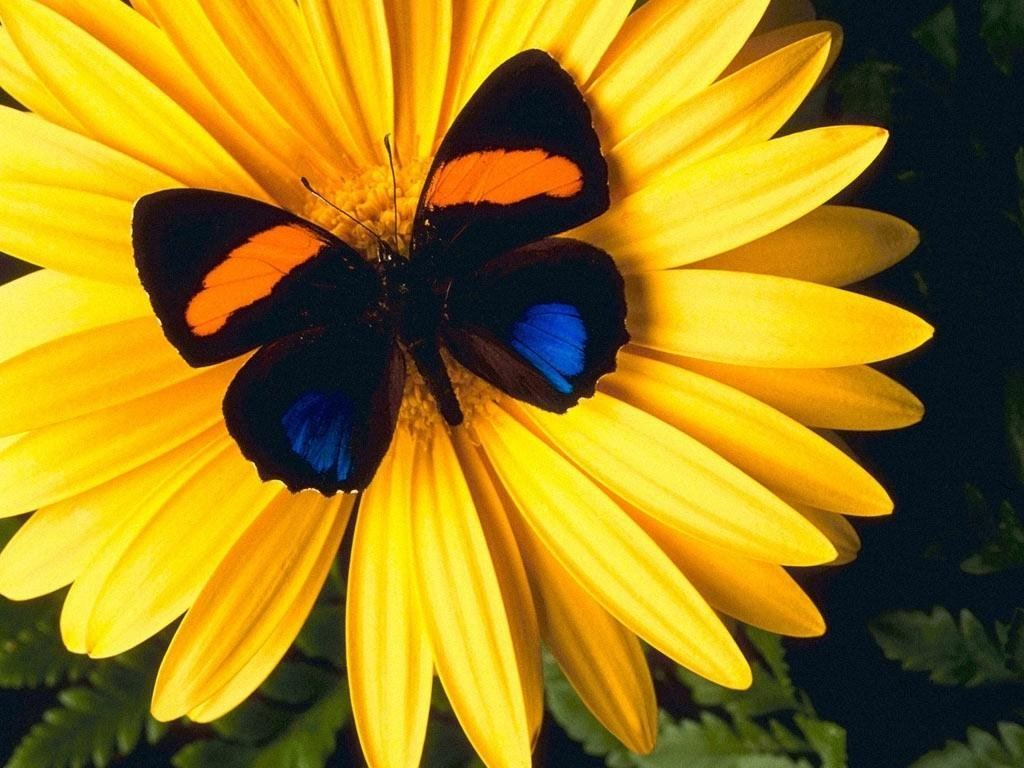 wnp: wallpapers & pictures: butterfly on yellow flower wallpaper