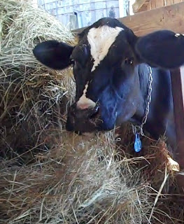 dairy cow eating