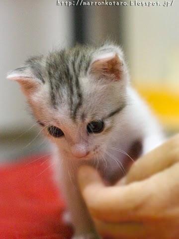 カワイイ子猫の画像 横耳