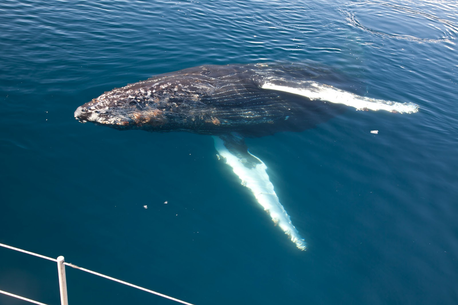 Blue Whale Under Boat