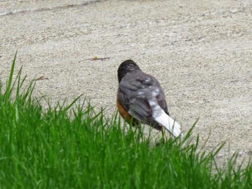 mottled robin