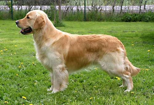 langhåret golden retriever