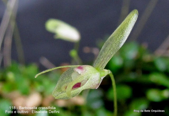 Restrepia crassifolia Pleurothallis hamburgensis Barbosella hamburgensis