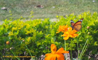 Plain Tiger Butterfly or Danaus Chysippus with spotted wings