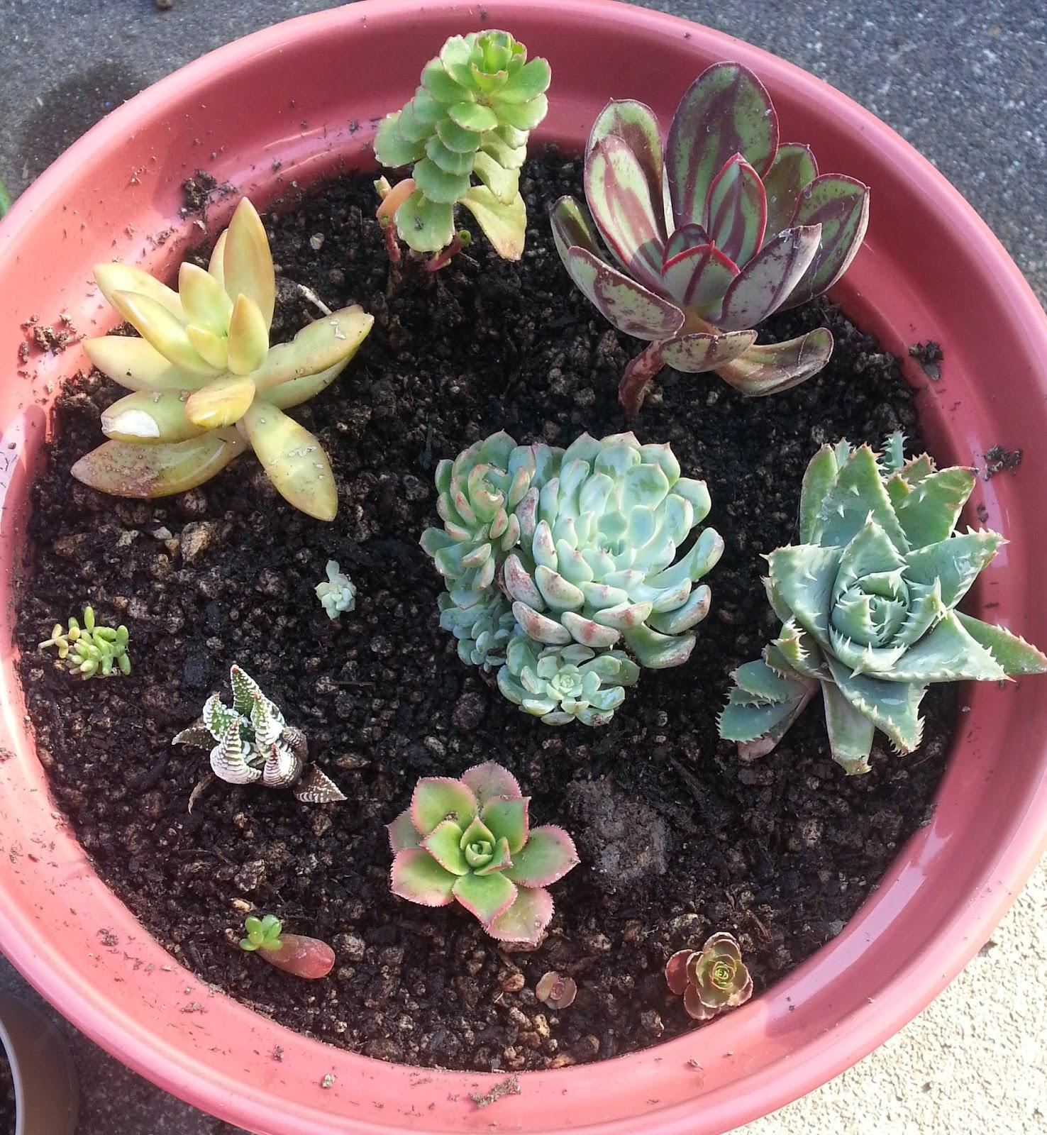 aloe, echeveria nodulosa, echeveria minima, aeonium kiwi, haworthia, jelly bean plant, sedum