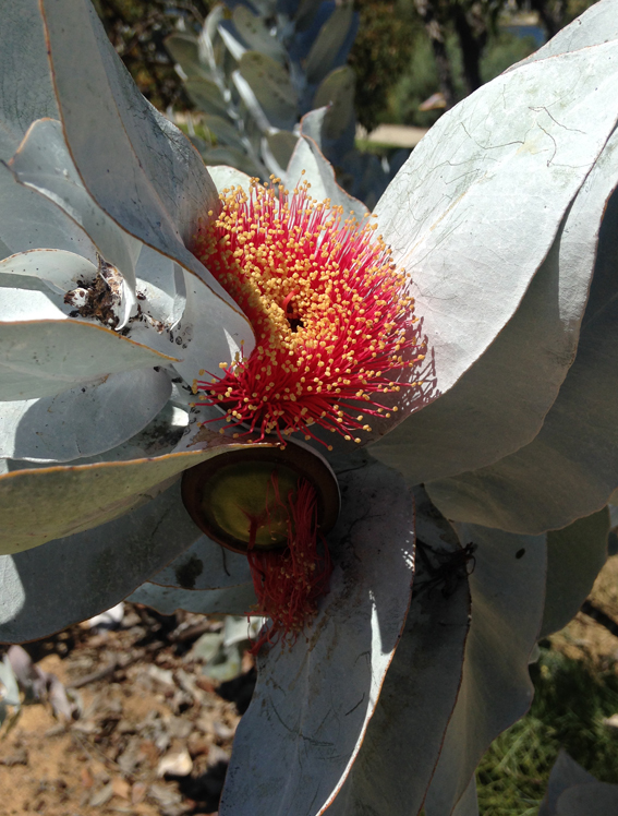 Eucalyptus formosa photograph of red form