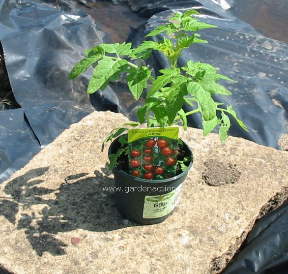 How to plant tomatoes build tomato cages