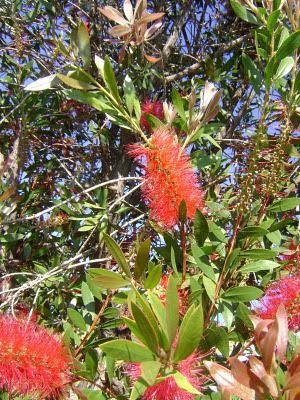 Bottlebrush też popularne w RPA