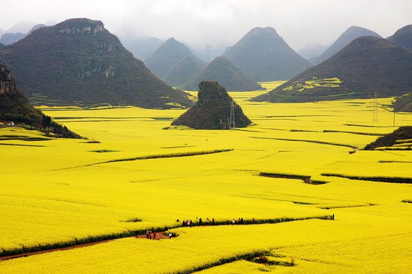 Yellow Canola Fields in China