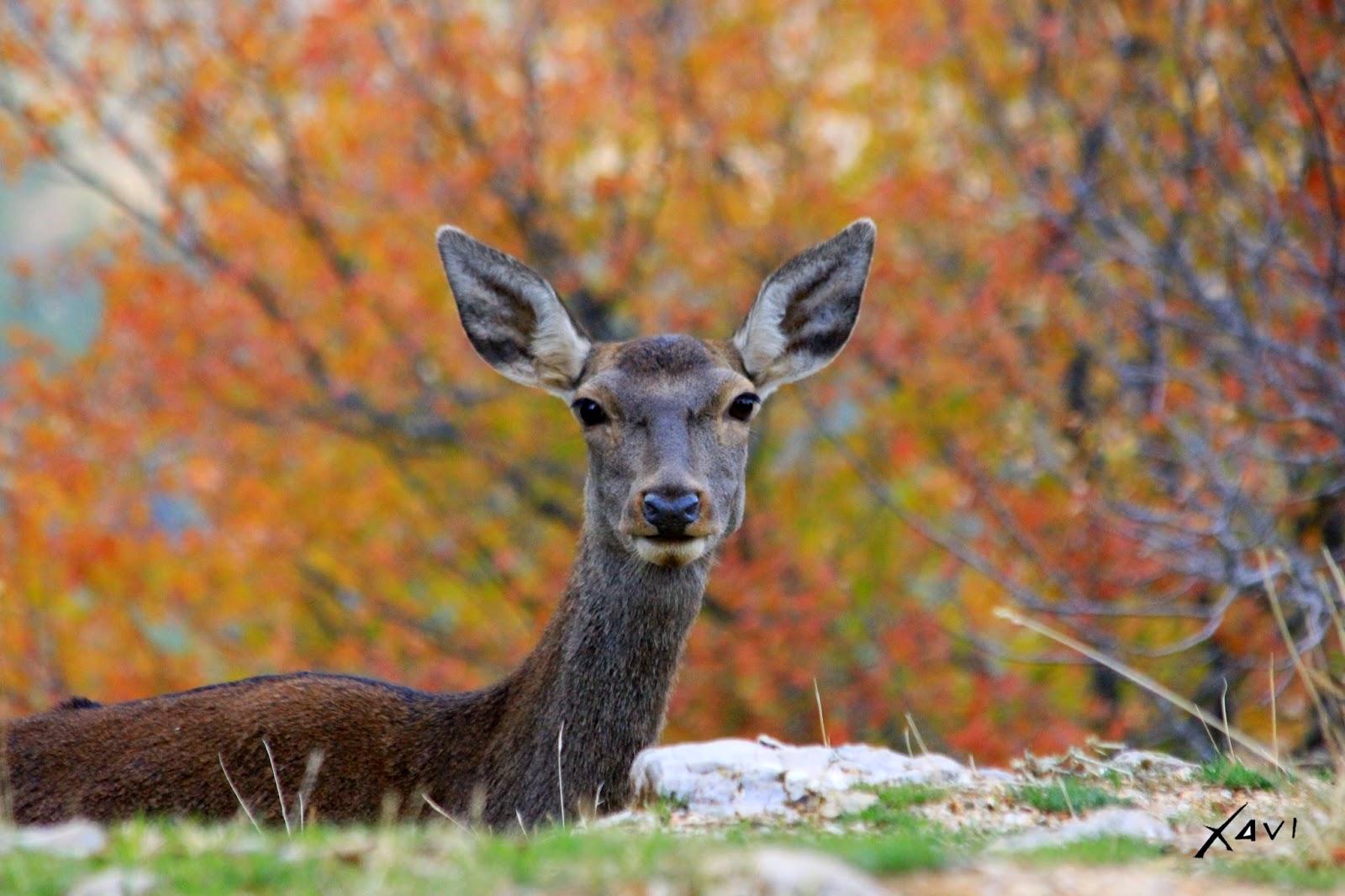 Ciervo ibérico- Hembra