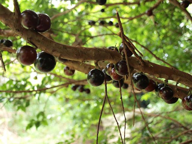 樹葡萄(嘉實果)樹幹上的果實