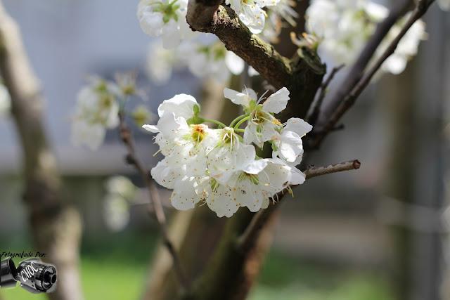 O rebentar da flor da macieira em plena primavera, apresentação de varias fotografias.