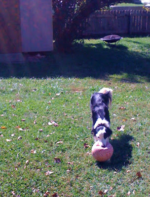 black and white border collie in a play bow with a deflated basketball, wagging her plumed tail