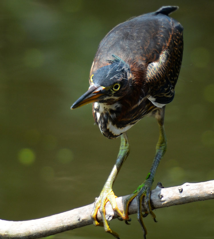 Close-up photo of a juvenile Green Heron -- Ibis Pond Rookery, Pinckney NWR
