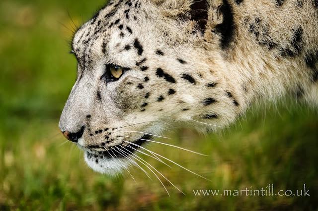 Snow leopard - in profile