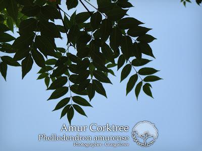 Amur Corktree Leaves